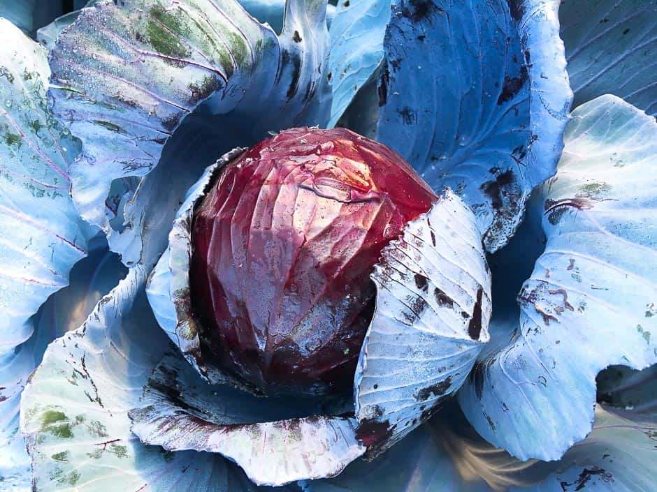 blue cabbage, red cabbage the harvest